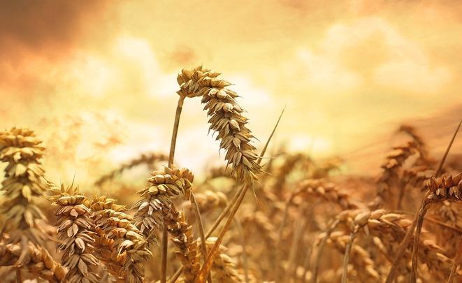 Турция определила квоту для русской пшеницы вобъеме 20-25% отимпорта