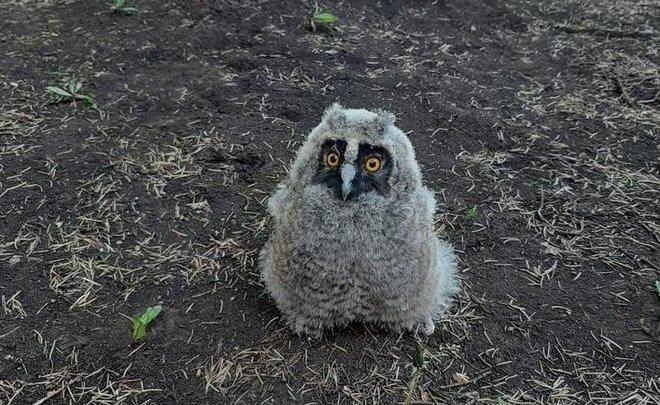 В Татарстане экологи спасли выпавшего из гнезда совенка
