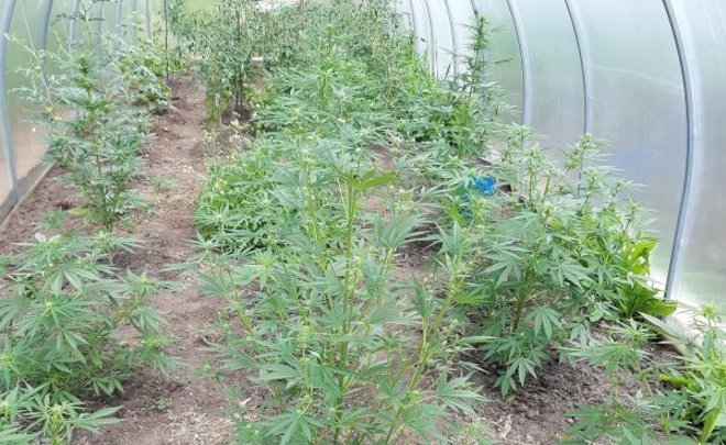 Выращивал марихуану на даче период сбора конопли