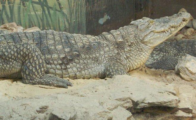 ВСаратове продали самого дорогого крокодила в РФ
