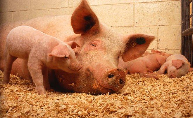 Очаг африканской чумы свиной зарегистрирован наплощадке компании «Мираторг»